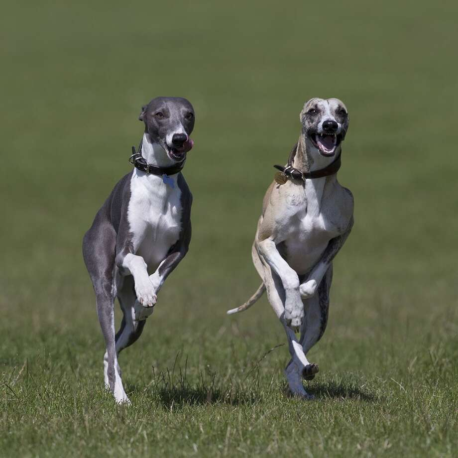 'Dogs at Play' Photo Runner-up -  by Maurice Jones Photo: The Kennel Club