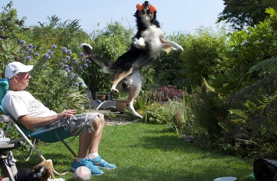 'Dogs at Play' Photo Winner - by RIchard Shore Photo: The Kennel Club