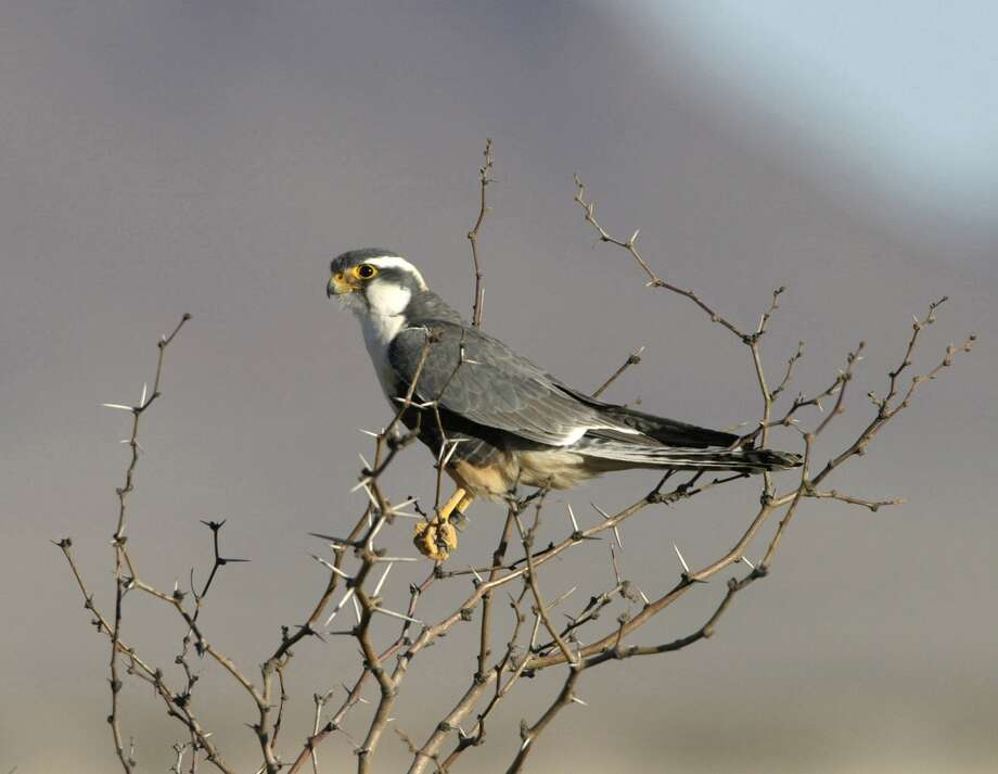 Northern aplomado falcon Photo: Cal Sandfort, AP / The Peregrine Fund
