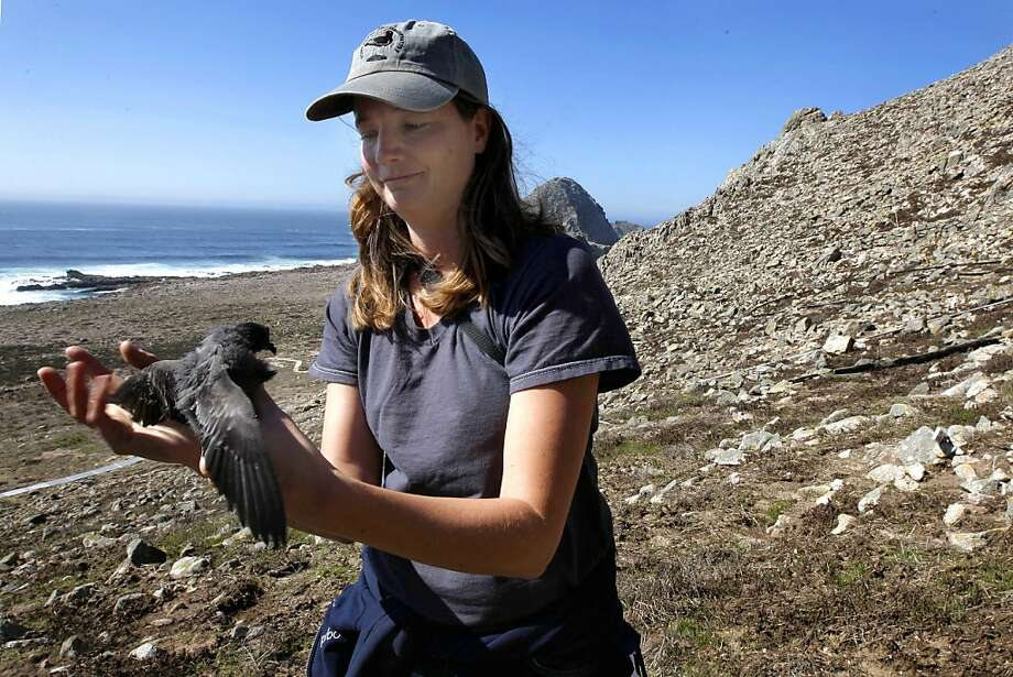 Melissa Pitkin, with the Point Reyes Bird Observatory, holds a Ashy Storm-Petrel chick, which is nesting along the cliffs on south east Farallon Island off the coast of San Francisco, Ca., on Wednesday October 12, 2011. When the mouse population dwindlesMelissa Pitkin, with the Point Reyes Bird Observatory, holds a Ashy Storm-Petrel chick, which is nesting along the cliffs on south east Farallon Island off the coast of San Francisco, Ca., on Wednesday October 12, 2011. When the mouse population dwindles on the island, Burrowing owls turn to the Ashey Storm-Petrel for it's food supply. Efforts to control the non-native house mice problem in the Farallon Islands have failed. Officials say the mouse population has grown so large that they have altered the ecology of the island. Photo: Michael Macor, The Chronicle