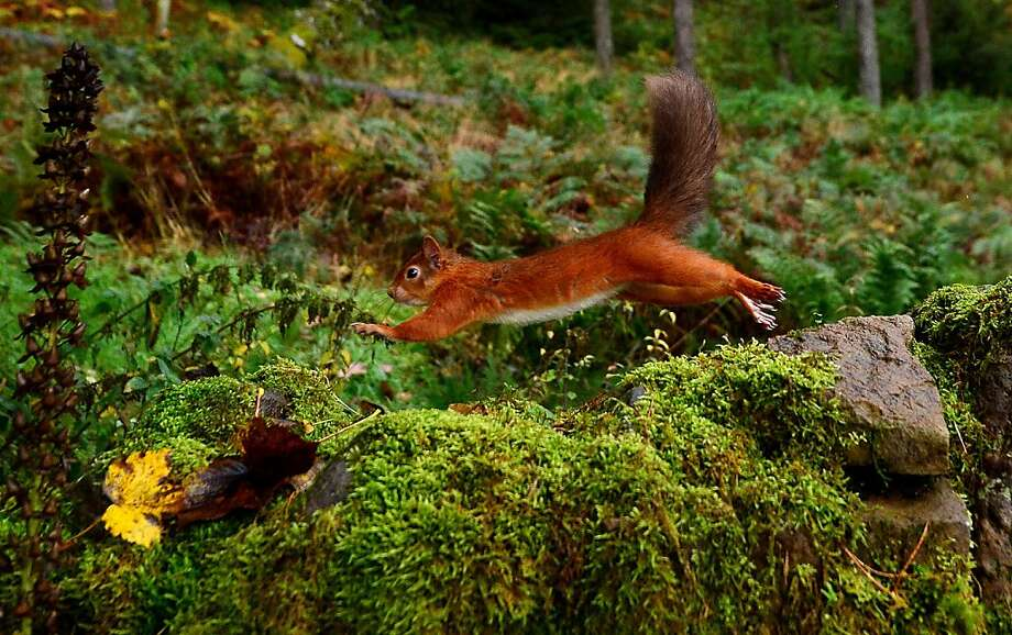 My name is Squirrel:A Eurasian red squirrel (Sciurus vulgaris) makes like Rocket J. Squirrel (Eupetaurus cinereus) in Kielder Forest, England's largest forest. Photo: Owen Humphreys, Associated Press
