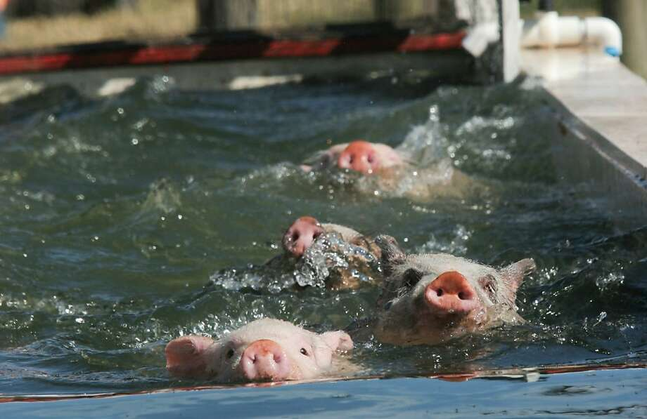 Water snouts: Most contestants choose the doggy paddle for the free-style swimming portion of the pig race 