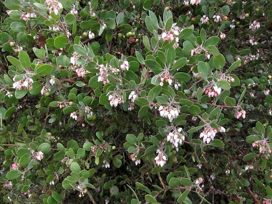 Manzanitas have bell-shaped flowers and small red fruit. They range from groundcovers, like 'Emerald Carpet,' through various shrubby varieties, like the one pictured here. Photo: Pam Peirce