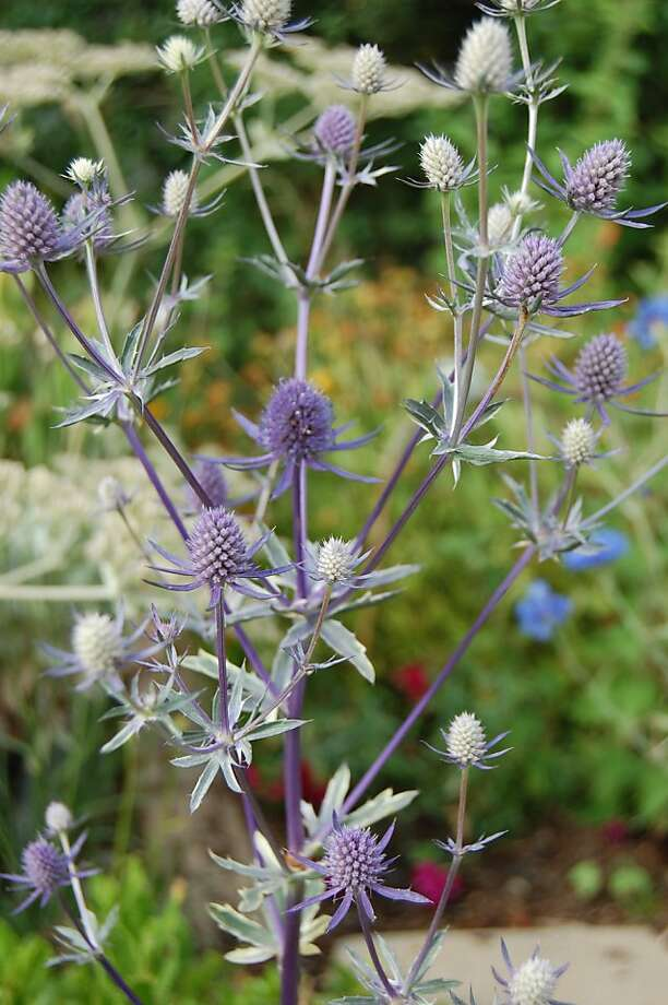 Bewitching foliage for Halloween includes Eryngium planum 'Jade Frost.' Photo: Erle Nickel