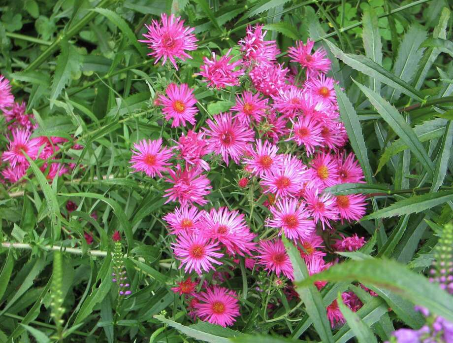 Asters provide interest and texture in the autumn garden. Photo: Contributed Photo / The News-Times Contributed