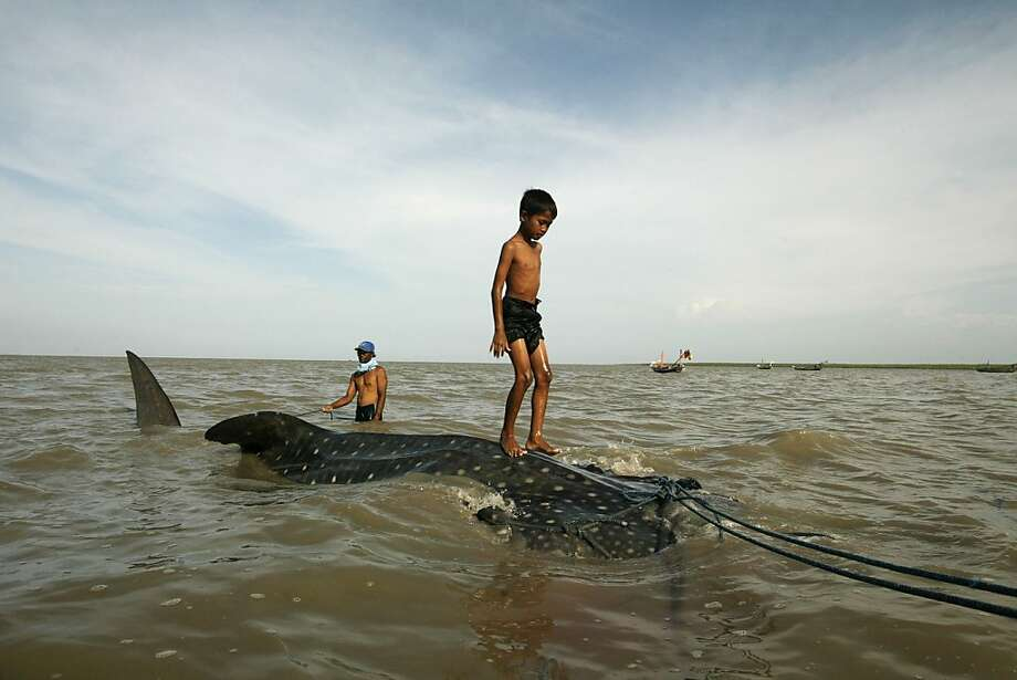 A boy rides atop a whale sharktowed along the coast of Surabaya, Java. The fishermen who trapped the giant creature in a net were going to sell it at market even though it's listed as vulnerable by the International Union for Conservation of Nature. Photo: Juni Kriswanto, AFP/Getty Images