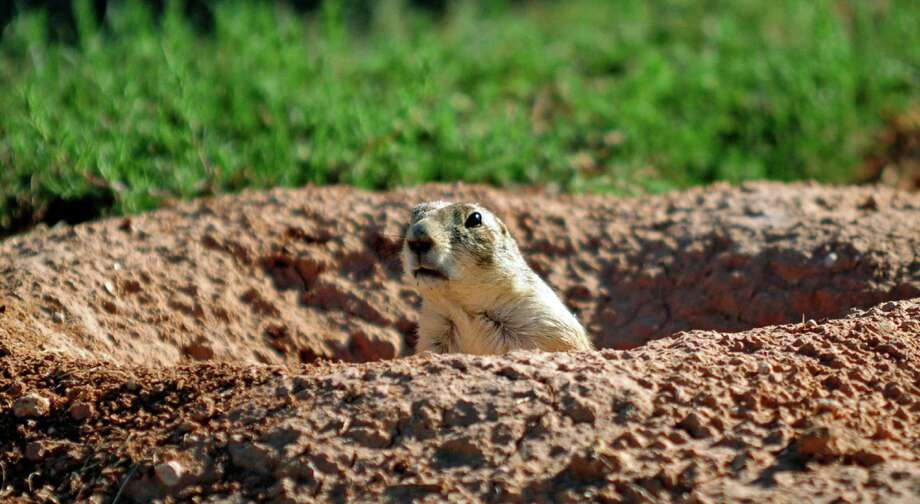 FILE - In this Aug. 12, 2010 file photo, a prairie dog looks up from turf on the campus of Clovis Community College in Clovis, N.M. fforts to save Clovis' prairie dogs have hit a snag. City Manager Joe Thomas says officials in Texas' Mitchell County oppose a proposal to move Clovis' unwanted prairie dogs to private land in the west-central Texas county. That leaves the fate of hundreds of the critters in limbo. Earlier this year the city poisoned some of the prairie dogs at the request of farmers, sparking efforts to find non-lethal ways to remove the animals. Photo: Tony Bullocks, AP / Clovis News Journal