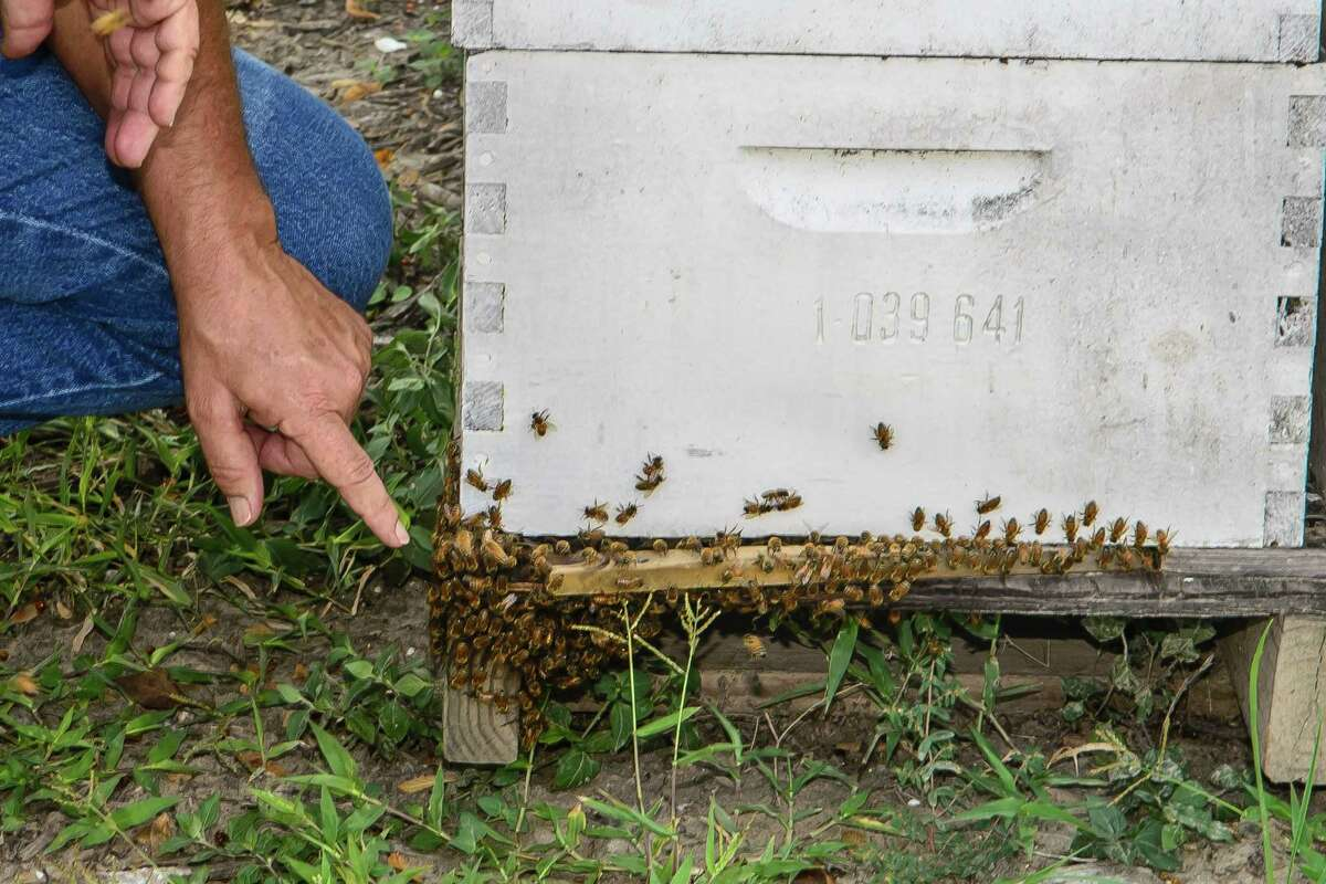 Jerry Stroope shows bees gathering outside a hive that is located off Main Street in Pearland.Jerry Stroope shows bees gathering outside a hive that is located off Main Street in Pearland.