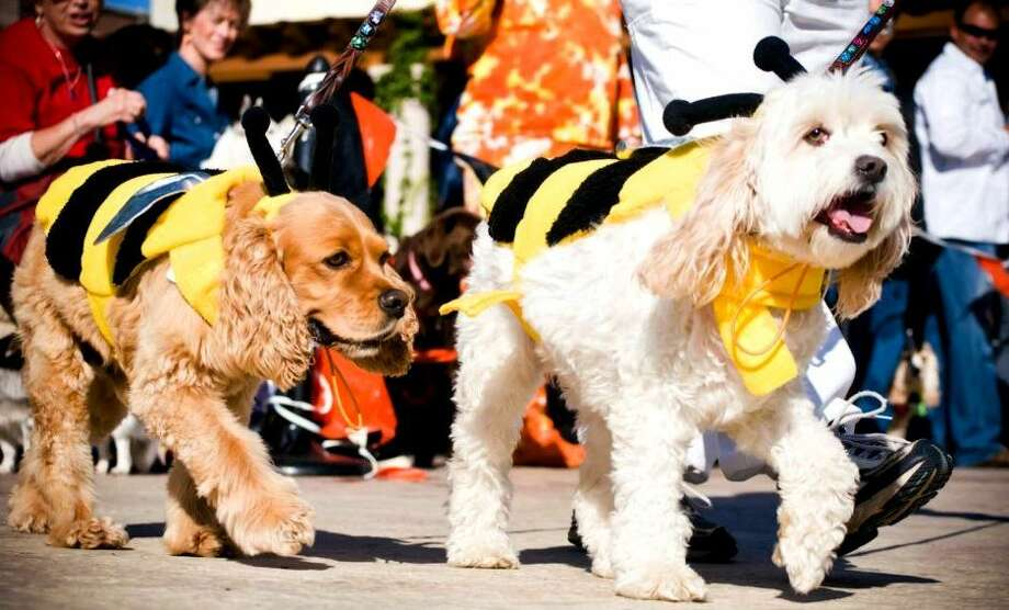 Pups will be strutting their stuff at the Howl-O-Ween Dog Walk, Costume Contest & Expo at LaCenterra at Cinco Ranch. The event includes a one-mile non-competitive walk and a costume contest with prizes. The first 200 participants will receive a commemorative T-shirt and refreshments will be available for dogs and owners. Proceeds will benefit Citizens for Animal Protection. When: 8 a.m.-11 a.m. Saturday oct26 Cost: $20 day-of registration for the dog walk; $15 day-of registration for the costume contest. Where: 23501 Cinco Ranch Blvd. in Katy Information: cap4pets.org Photo: Courtesy Photo / ONLINE_YES