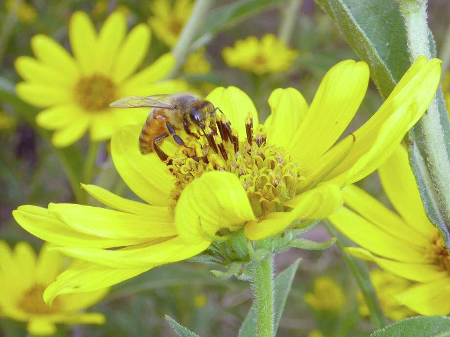This Maximilian sunflower on the Mims place attracted a honeybee searching for nectar or pollen. Photo: Forrest M. Mims III / For The Express-News