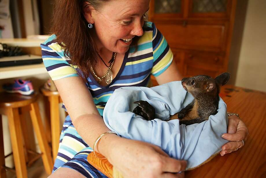 Foster pouch:Volunteer Christelle Gilmore holds Phoenix, an orphaned baby Swamp Wallaby recovering from burns she suffered in the   Springwood wildfires in Castlereagh, Australia. Photo: Brendon Thorne, Getty Images