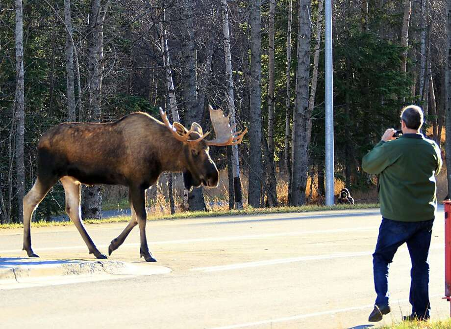 Future Darwin Awards nominee?A man with a camera recklessly approaches a bull moose as it crosses the 