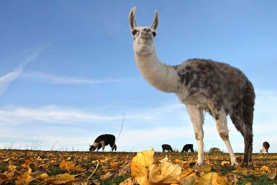 You hardly ever see this on German farms:No, not the llamas - leaves covering a field that has no   trees. (Oberbeuren, Germany.) Photo: Karl-Josef Hildenbrand, AFP/Getty Images