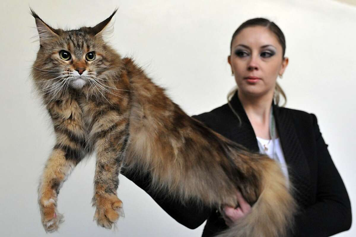 Nothing up my sleeve ... Presto! Far from Bar Harbor, a Maine Coon gets a lift at a cat exhibition in Bishkek, Kyrgyzstan.