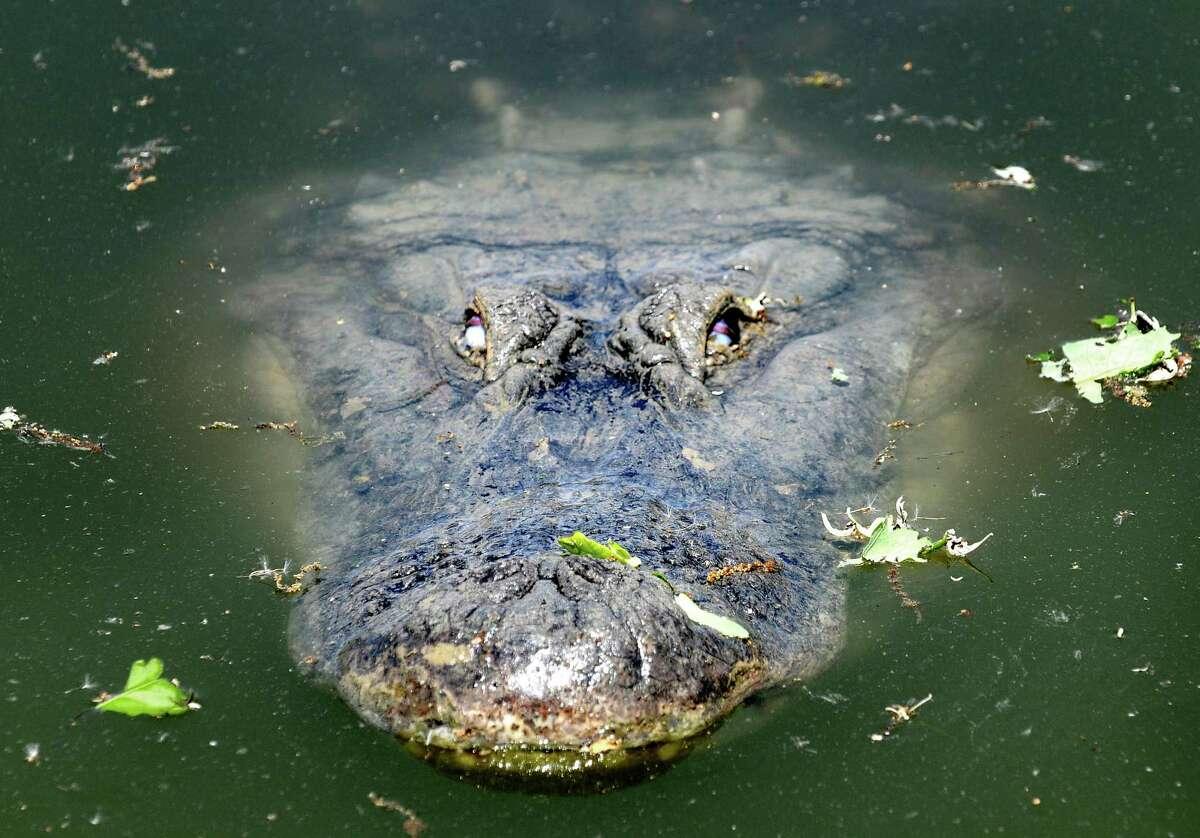 Alligators 1 person per year