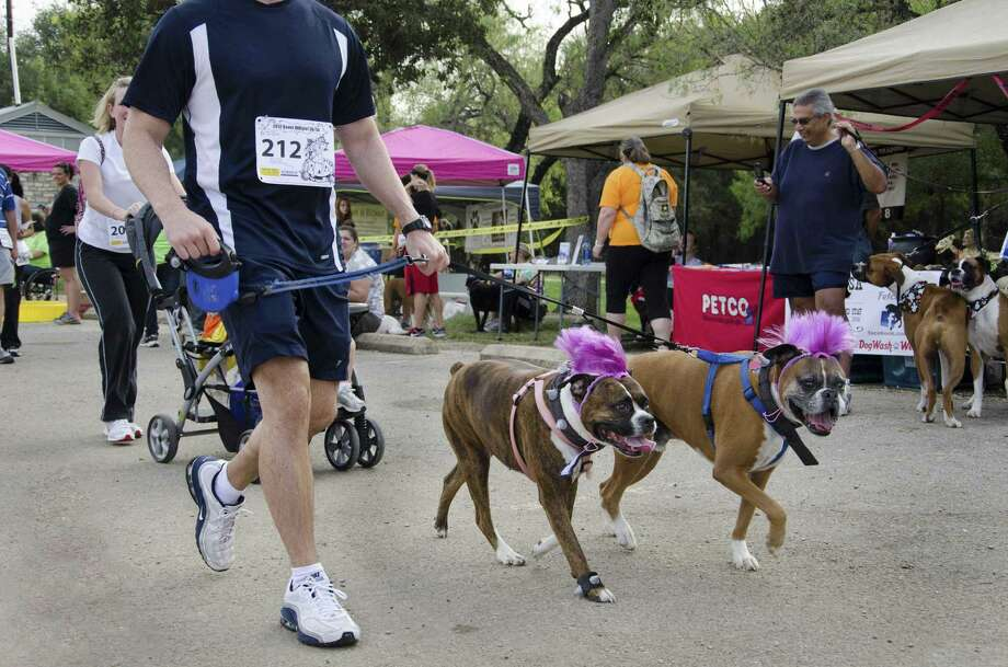 Boxers and other breeds will be in costume for Sunday's Boxer BOOgie run. Photo: Courtesy Cindy Kelleher
