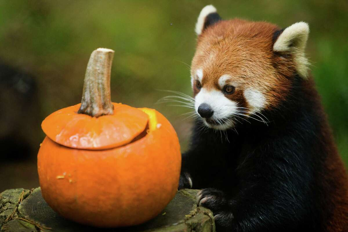 Harold, a 9-year-old panda, sniffs his way through a habitat on the hunt for a fish-stuffed pumpkin Thursday, Oct. 24, 2013, at Woodland Park Zoo in Seattle. The weekend event features pumpkins for the zoo's animals, trick-or-treating for kids and festive entertainment for costumed little ones.
