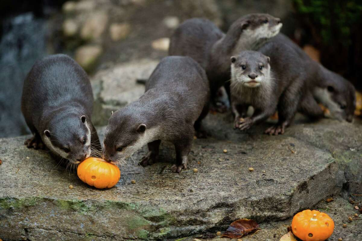 A group of Asian Small-Clawed Otters - two parents and three pups - hunt around their habitat for fish-stuffed pumpkins and other snacks Thursday, Oct. 24, 2013, at Woodland Park Zoo in Seattle. The weekend event features pumpkins for the zoo's animals, trick-or-treating for kids and festive entertainment for costumed little ones.