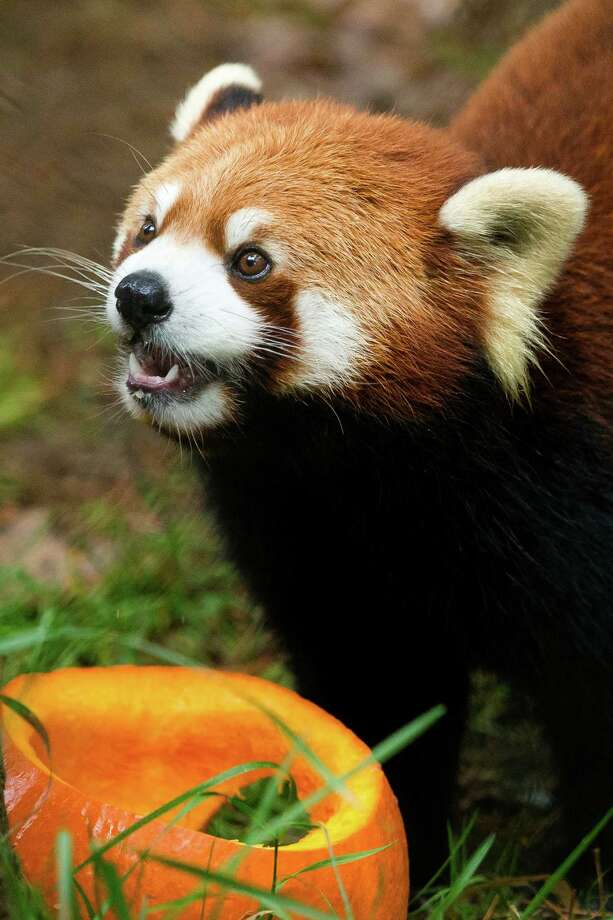 Harold, a 9-year-old panda, sniffs his way through a habitat on the hunt for a fish-stuffed pumpkin Thursday, Oct. 24, 2013, at Woodland Park Zoo in Seattle. The weekend event features pumpkins for the zoo's animals, trick-or-treating for kids and festive entertainment for costumed little ones. Photo: JORDAN STEAD, SEATTLEPI.COM / SEATTLEPI.COM
