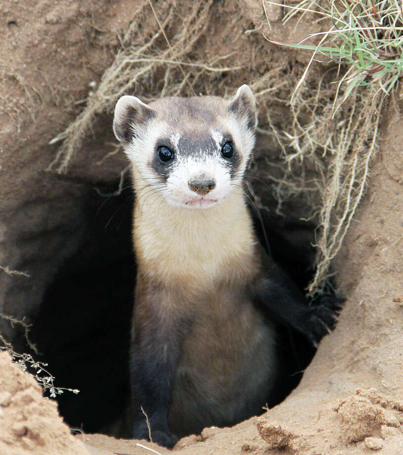 Black-footed ferretThe black-footed ferret depends on prairie dogs for food, and therefore it lives near prairie dog habitat. Numbers of prairie dogs have shrunk in Texas, and the ferret has not been seen here since 1963. It's possible it may live near bigger priarie dog town in the Panhandle.