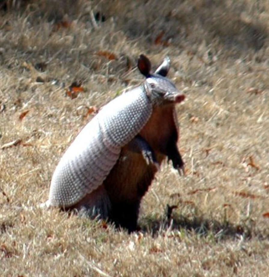 Armadillo, House Concurrent Resolution No. 178, 74th Legislature, Regular Session (1995) Photo: RON HENRY STRAIT, File Photo / RSTRAIT@EXPRESS-NEWS.NET