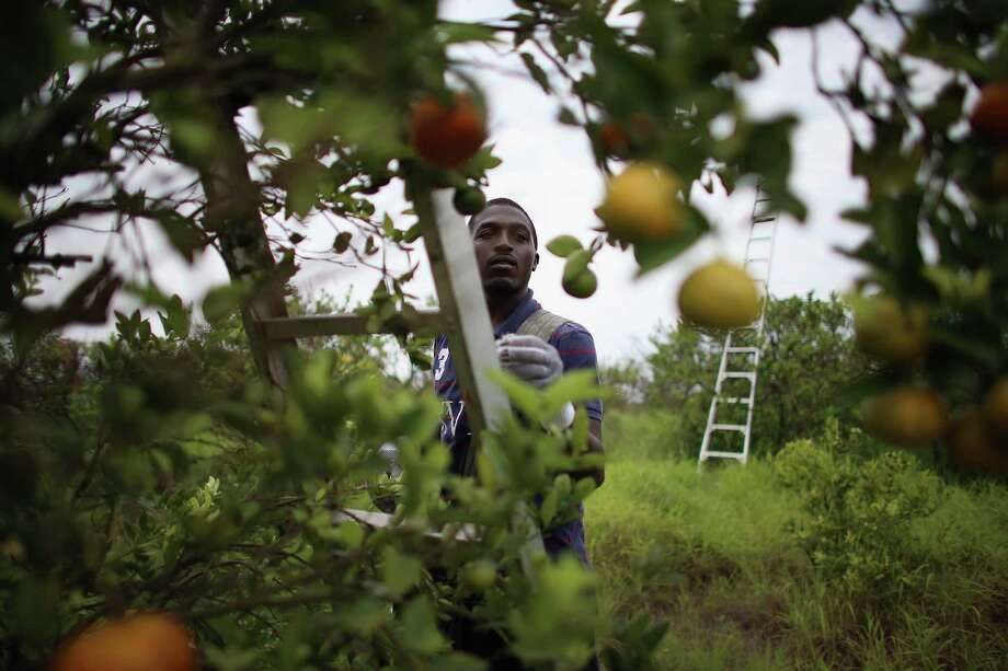 Lacedric Stovall harvests tangerines in Florida. The 16-day government shutdown that ended Oct. 17 has delayed the arrival of temporary workers needed to harvest the state's winter citrus crop due to delays in H2-A visa program application processing. Photo: Joe Raedle / Getty Images