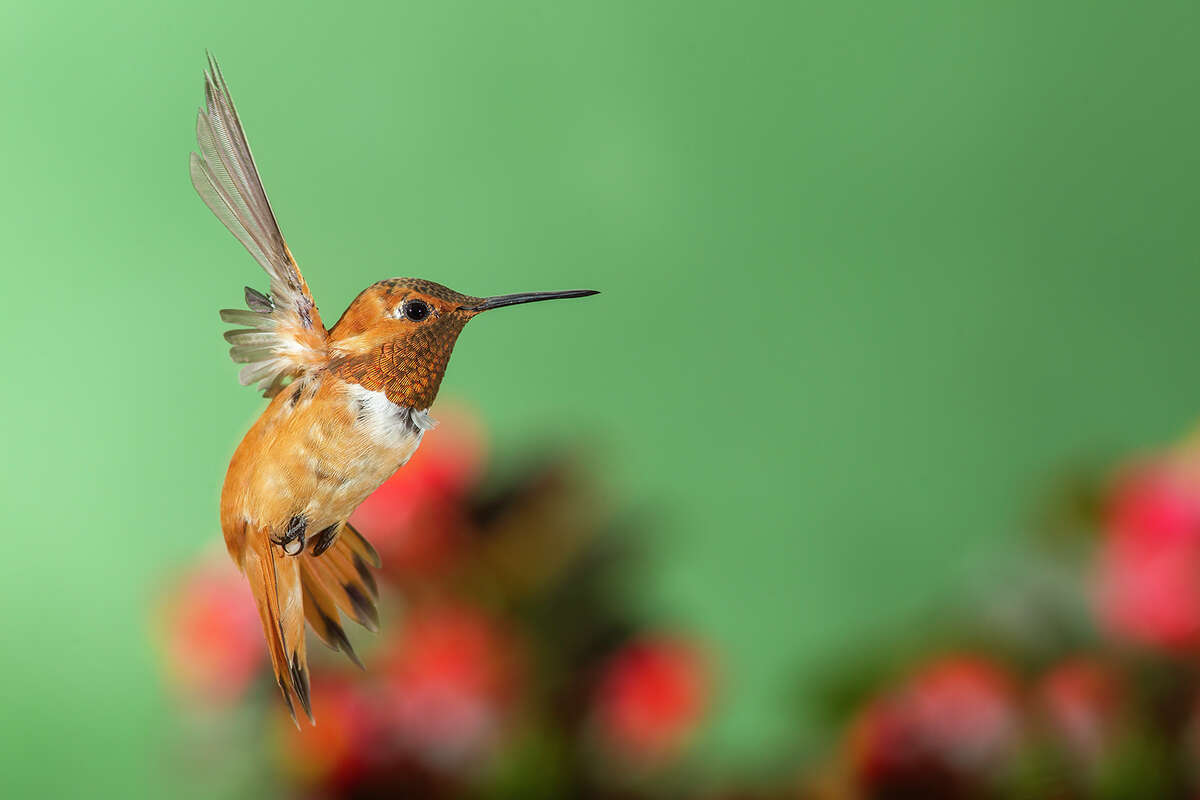 Rufous hummingbirds have a habit of returning to the same wintering spot year after year.