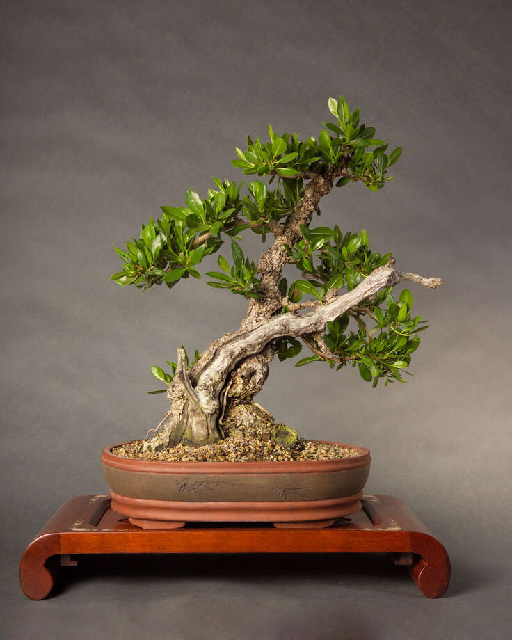 The Houston Bonsai Society will present demonstrations and a plant sale Saturday at Mercer Arboretum and Botanic Gardens. Photo: Tim Fulton / handout
