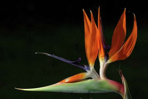 Bird of paradise can take years to reach flowering age.