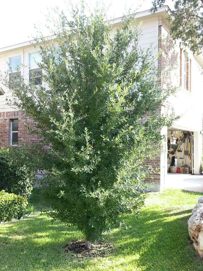 The lowest branches can be removed to make a shrublike live oak look more like a tree. Photo: Courtesy Photo