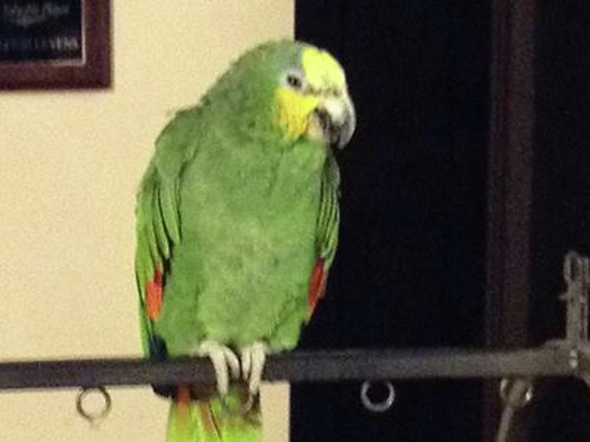Pete the parrot (provided photo)