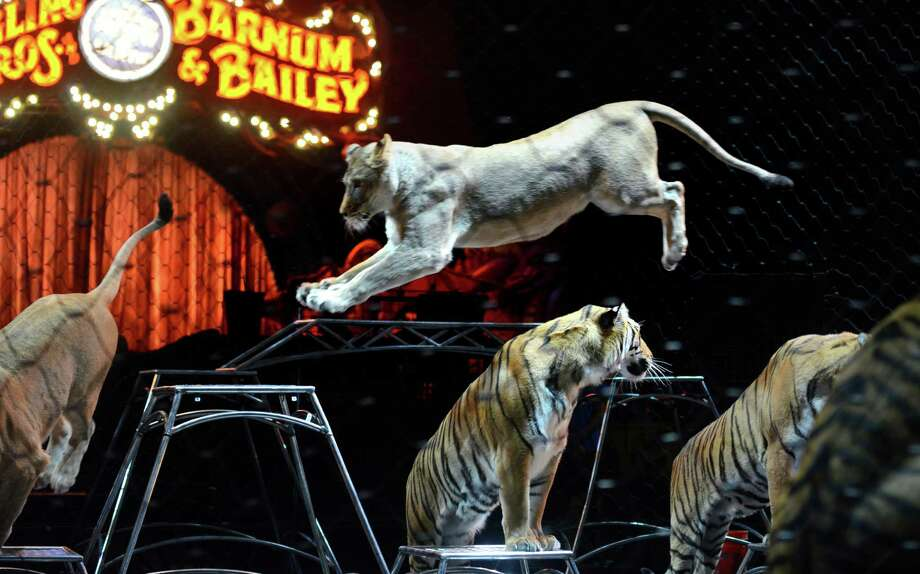 "Ringling Bros. and Barnum & Bailey Circus gives a special seminar on ""Working with Big Cats"" to students from Trumbull Agri-Science classes and Zoological and Biotechnological Sciences students from the new Fairchild Wheeler Magnet School in Bridgeport Friday, Oct. 25, 2013 at the Webster Bank Arena.  Ringling Bros. and Barnum & BaileyAE Presents DRAGONS will be at the Webster Bank Arena in Bridgeport, Conn through Sunday Oct. 27, 2013. Photo: Autumn Driscoll / Connecticut Post"