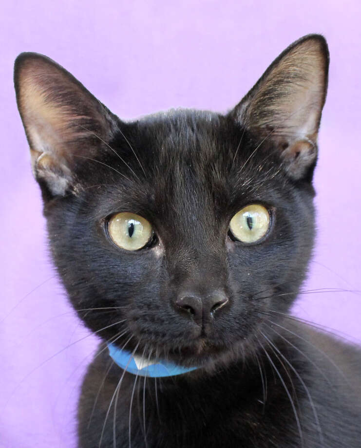 Harley is a 7-month-old, neutered cat who was a stray wandering the streets, but was found and brought to SAHS by a Good Samaritan. He enjoys cuddling up with his human friends to receive lots of scratches under his chin.