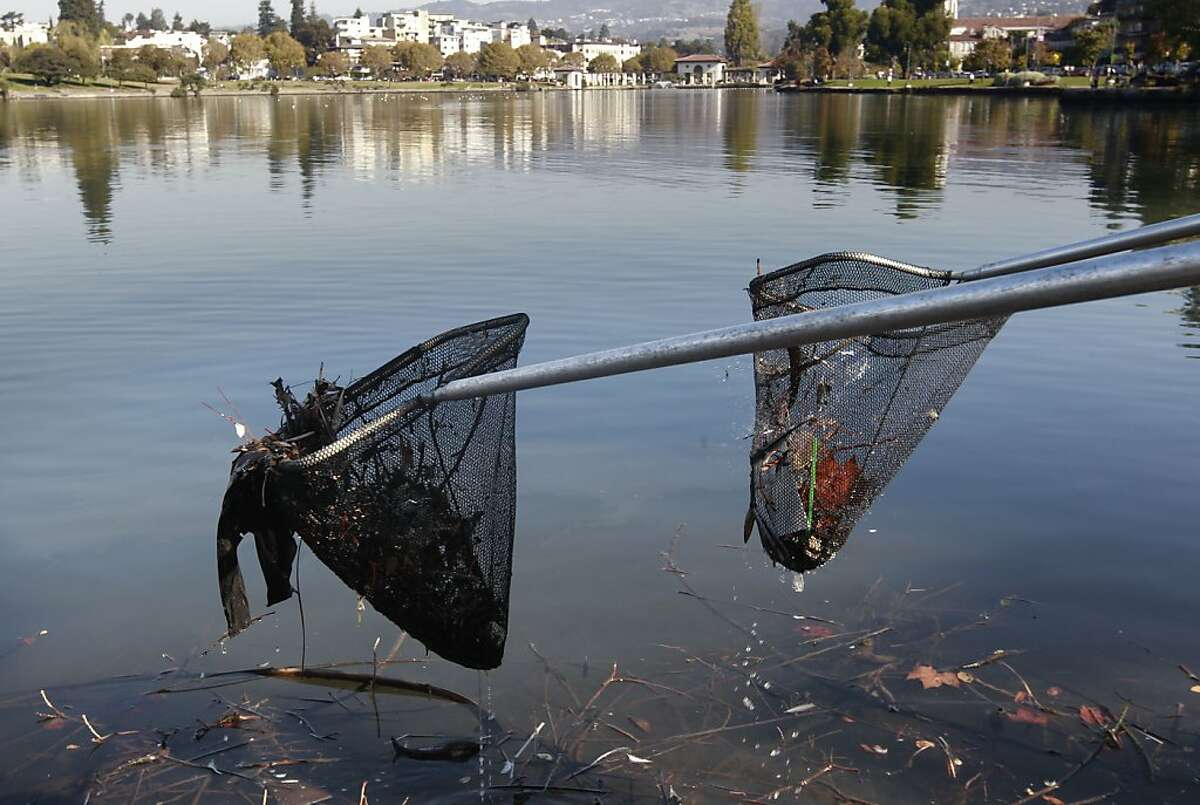 Volunteers join the Saturday Clean Lake Program collecting debris from Lake Merritt on Saturday Oct. 26, 2013, in Oakland, Calif. A river otter was spotted in Oakland's Lake Merritt earlier this month, a clear sign that the lake is getting healthier and more attractive to humans and wildlife alike.