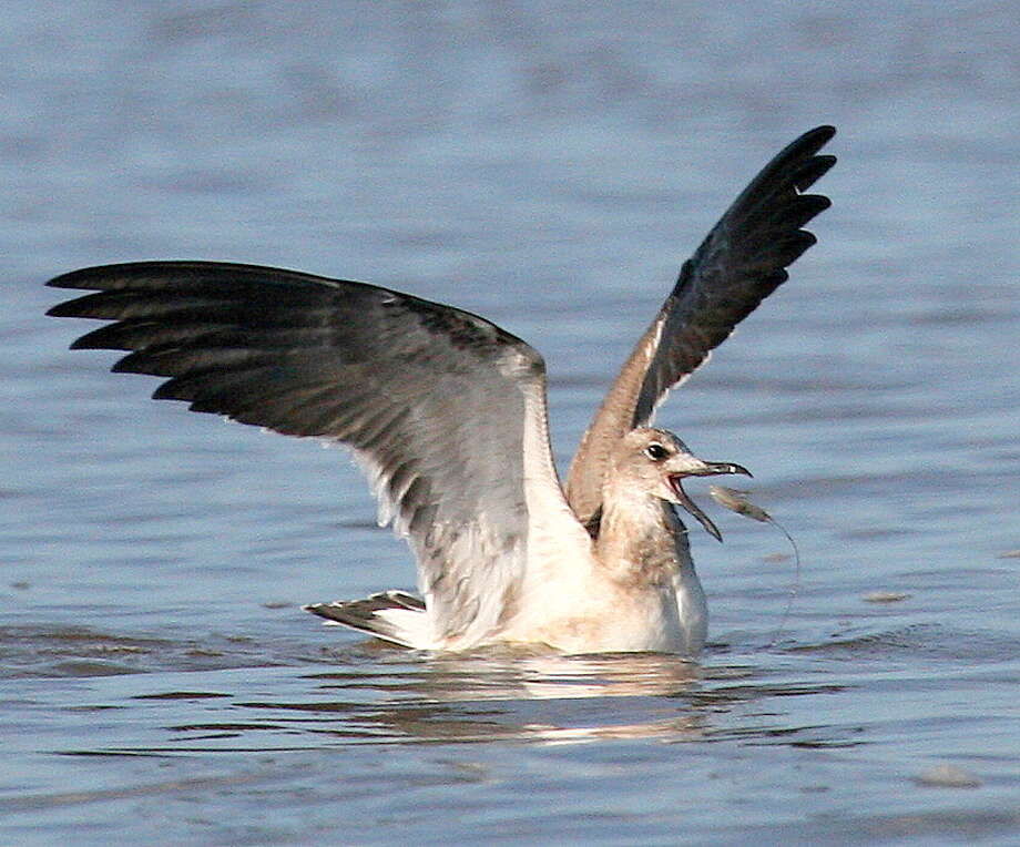 """A gull """"bird-dogging"""" a school of speckled trout preying on migrating white shrimp snatches a snack from mid-air as the crustacean attempts to flee the trout chasing it. Photo: Picasa"""
