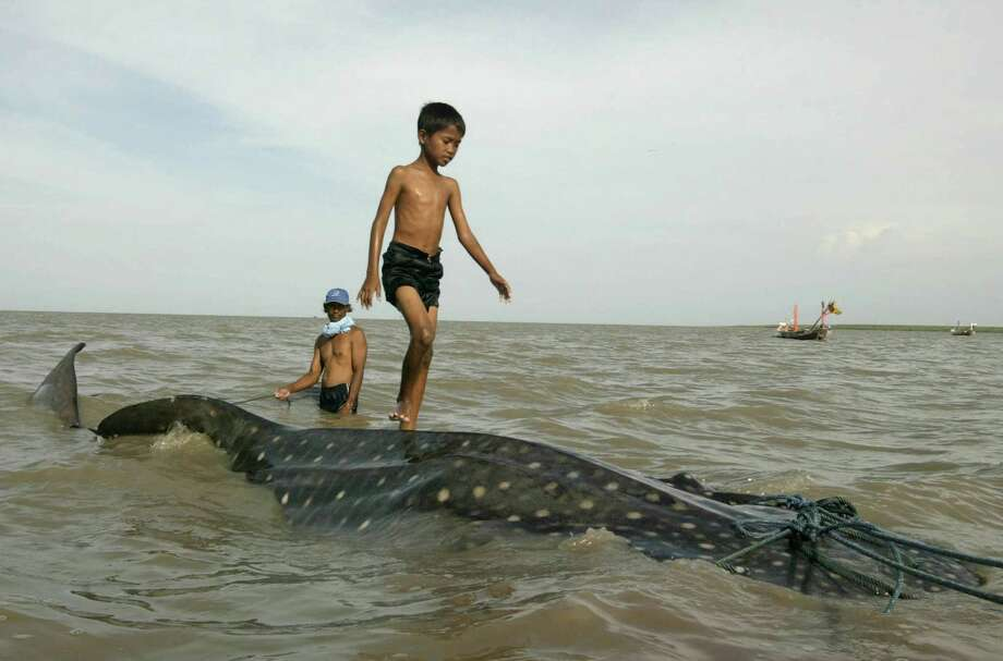 An Indonesian youth walks on the back of a beached whale shark as fishermen prepare to pull it back to the sea at Kenjeran beach in Surabaya, East Java, Indonesia, Tuesday, Oct. 22, 2013. The whale survived and successfully released back into the sea. Photo: Trisnadi, AP / AP2013