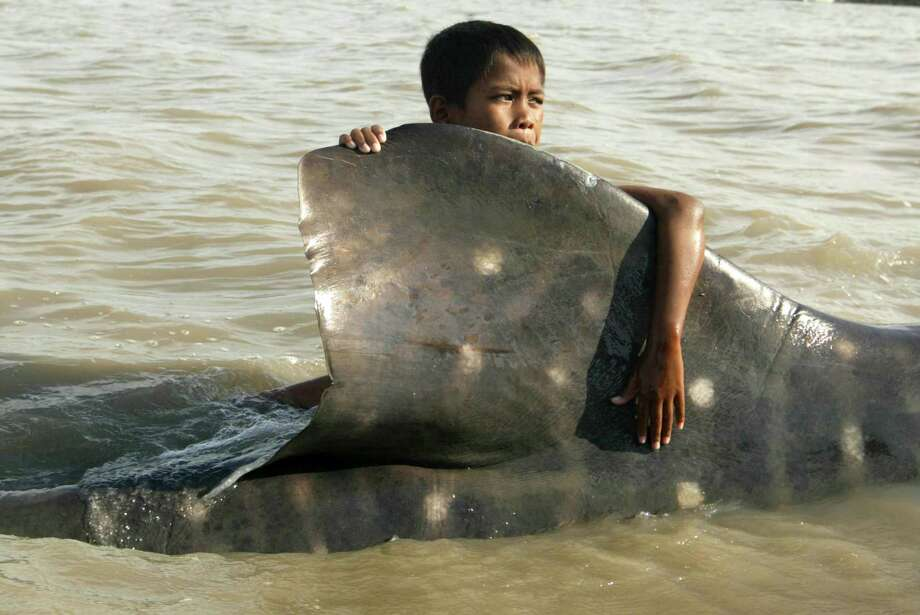 An Indonesian youth clings on the dorsal fin of a beached whale shark as fishermen prepare to pull it back to the sea at Kenjeran beach in Surabaya, East Java, Indonesia, Tuesday, Oct. 22, 2013. The whale survived and successfully released back into the sea. Photo: Trisnadi, AP / AP2013