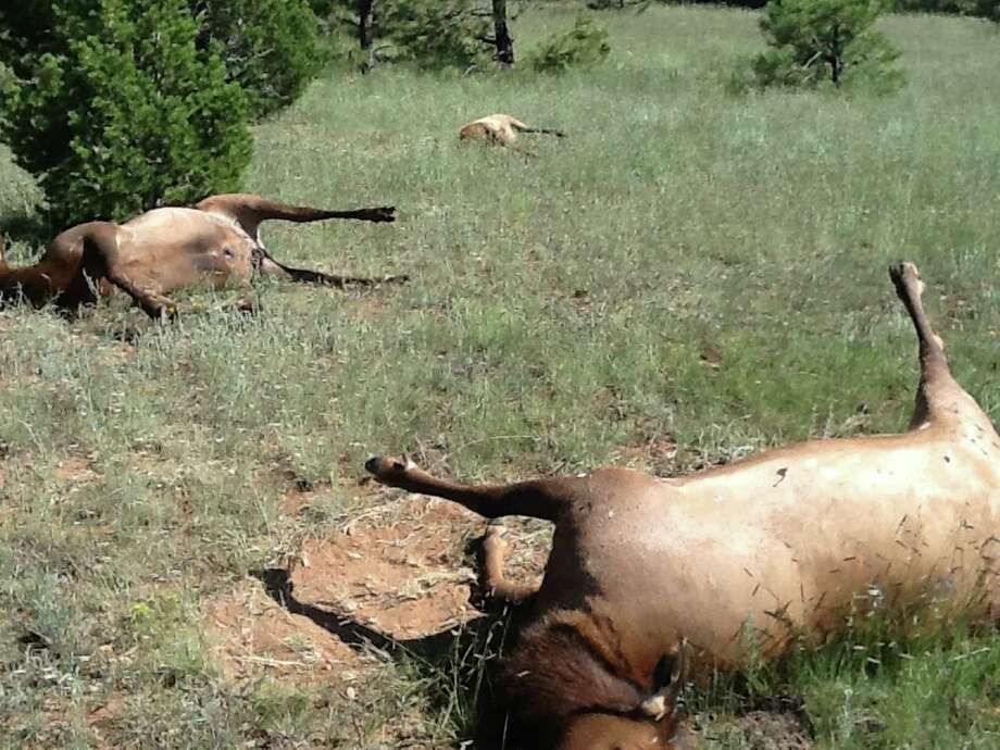 In this Aug. 27, 2013 photo released by  New Mexico Game and Fish Department, shows the dead elk were reported by a hunter that found them scattered across less than one square mile on the Buena Vista Ranch, near Mora, N.M. The deaths of more than 100 elk in northeastern New Mexico were likely caused by drinking water that contained toxic algae, state wildlife officials said Tuesday, Oct. 22, 2013. Laboratory tests revealed that a water sample contained Anabaena, a form of naturally occurring blue-green algae capable of producing a neurotoxin that can cause illness and death within hours if ingested. Photo: AP / New Mexico Game and Fish Department,
