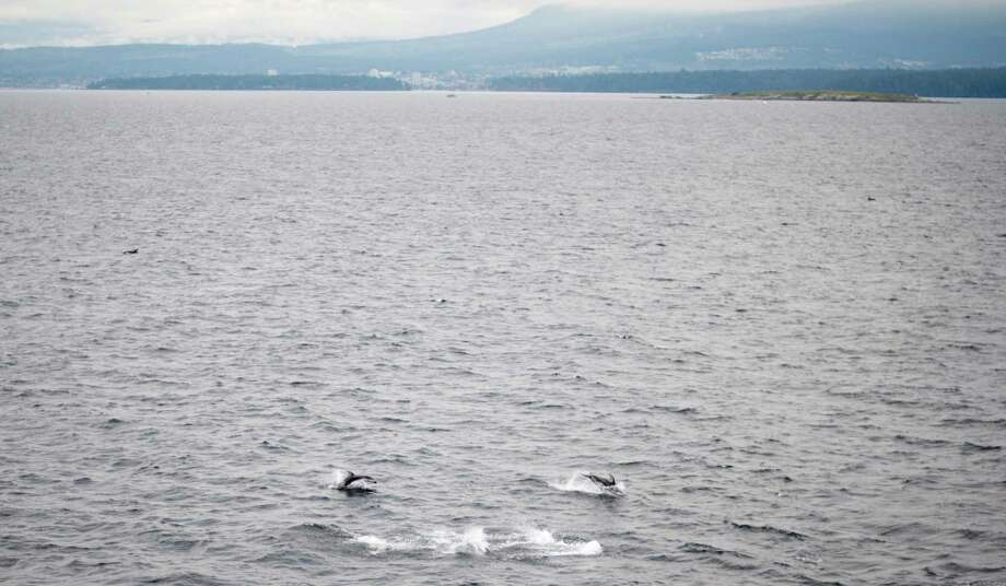 Pacific white side dolphins are seen swimming just outside of the Nanaimo Harbour on Vancouver Island, British Columbia, on Saturday, Oct. 26, 2013. Photo: Jonathan Hayward, AP / The Canadian Press