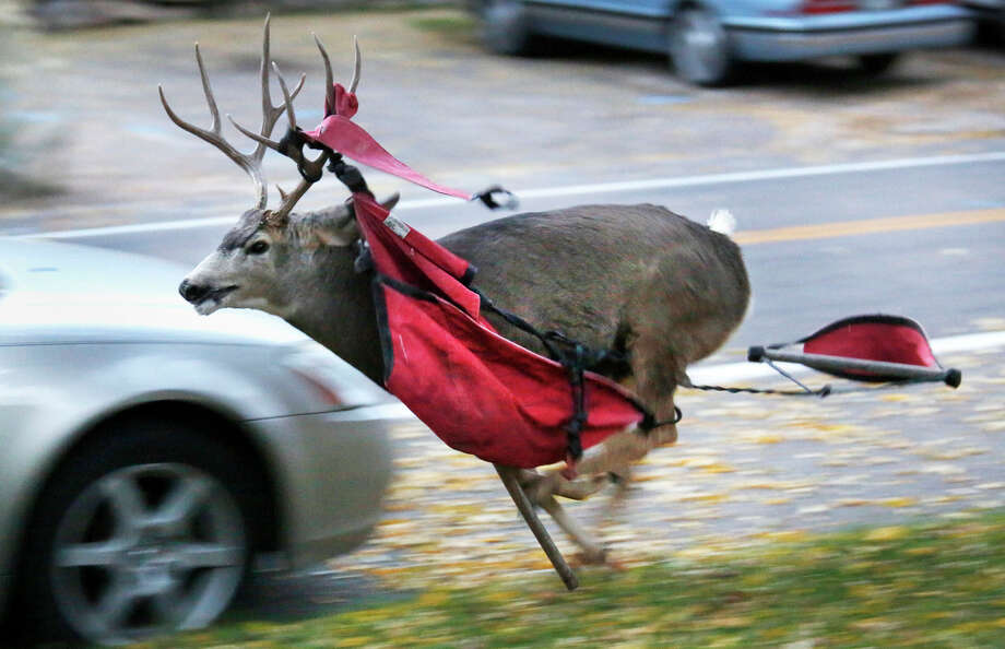 A mule buck races down West Third Avenue on Thursday, Oct. 24, 2013, in Durango Colo., with a canvas chair wrapped around its antlers. The deer had struggled for about 30 minutes before tearing down the chair from the tree and running several blocks and in to the brush. Colorado Parks and Wildlife officers found the deer on Friday Oct. 25, 2013, tranquilizing it and cutting off its antlers. The deer got up and ran off in good health. Photo: JERRY McBRIDE, AP / The Durango Herald