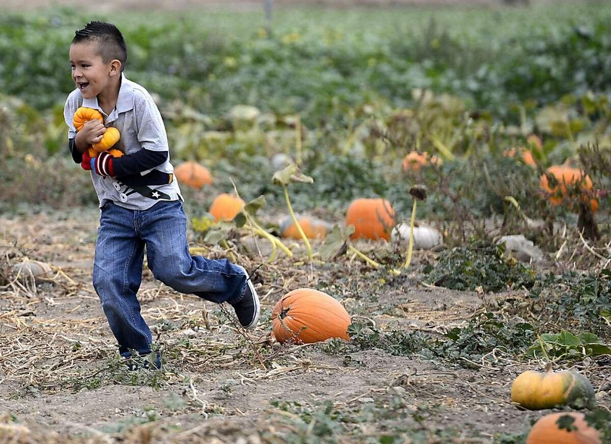 Juan Pablo Espinoza, 5, of Salinas runs back to his family's wagon with a load of small pumpkins at the Young Life Pumpkin Patch off Highway 68 in rural Salinas on Sunday, Oct. 27, 2013. (AP Photo/ Monterey County Herald, David Royal)