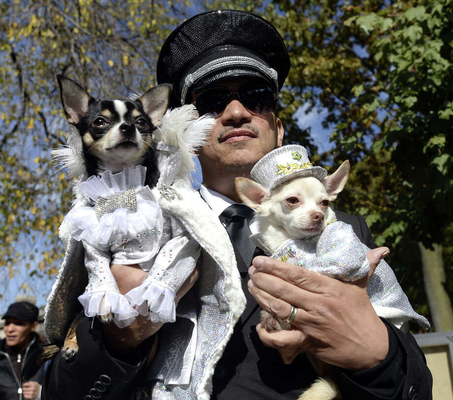 A contestant participates in the 23rd Annual Tompkins Square Halloween Dog Parade on October 26, 2013 in New York City.  Thousands of spectators gather in Tompkins Square Park to watch hundreds of masquerading dogs in the country's largest Halloween Dog Parade. Photo: TIMOTHY CLARY, AFP/Getty Images / 2013 AFP