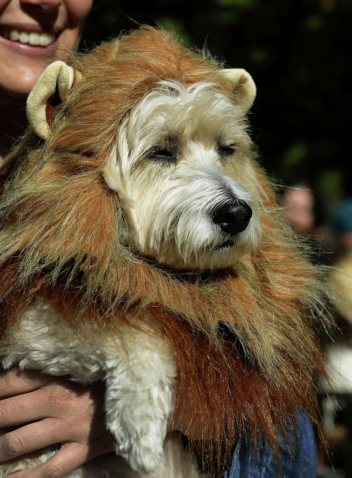 A dog dressed as a lion participates in the 23rd Annual Tompkins Square Halloween Dog Parade on October 26, 2013 in New York City. Thousands of spectators gather in Tompkins Square Park to watch hundreds of masquerading dogs in the country's largest Halloween Dog Parade.