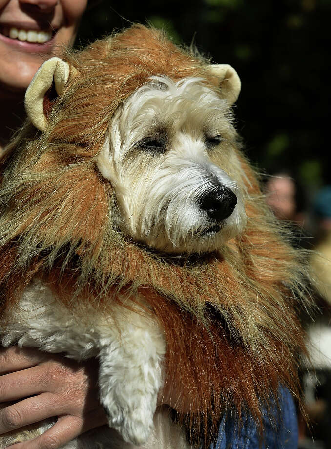 A dog dressed as a lion participates in the 23rd Annual Tompkins Square Halloween Dog Parade on October 26, 2013 in New York City. Thousands of spectators gather in Tompkins Square Park to watch hundreds of masquerading dogs in the country's largest Halloween Dog Parade. Photo: TIMOTHY CLARY, AFP/Getty Images / 2013 AFP