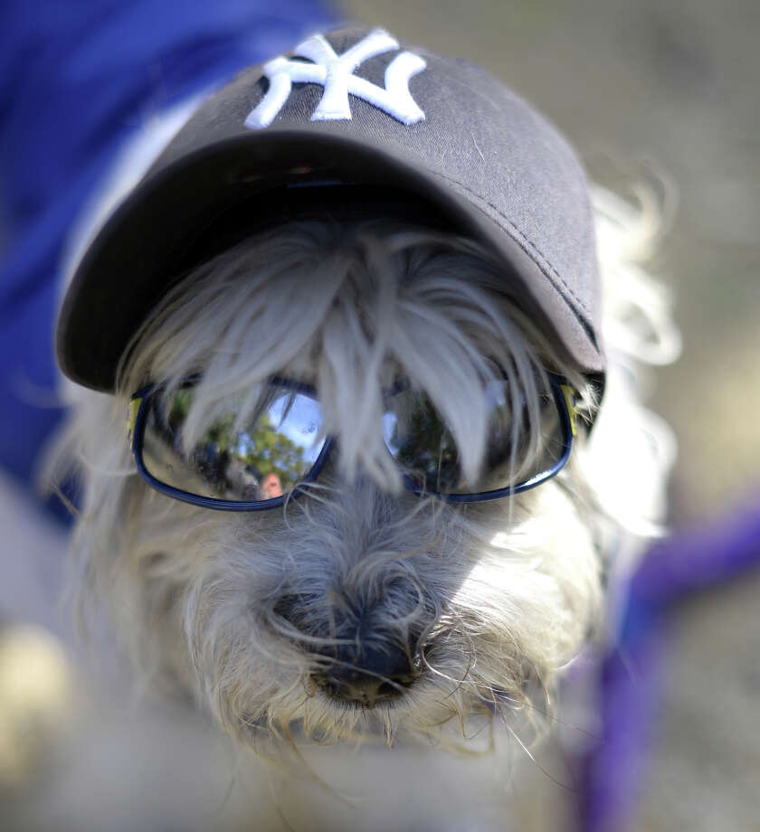 A dog dressed as a New York Yankee participates in the 23rd Annual Tompkins Square Halloween Dog Parade on October 26, 2013 in New York City. Thousands of spectators gather in Tompkins Square Park to watch hundreds of masquerading dogs in the country's largest Halloween Dog Parade. Photo: TIMOTHY CLARY, AFP/Getty Images / 2013 AFP