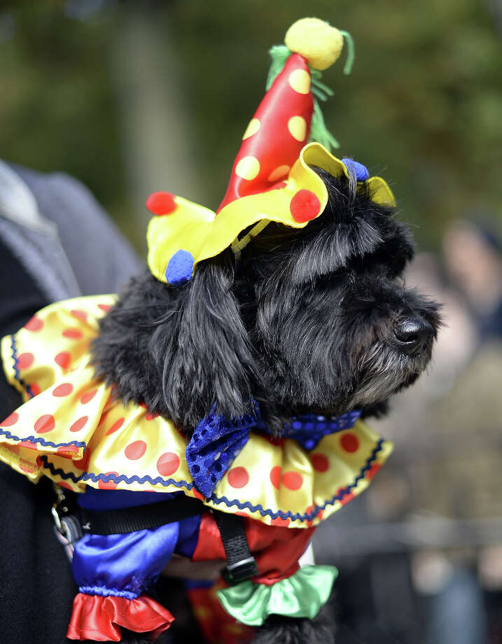 A dog dressed as a clown participates in the 23rd Annual Tompkins Square Halloween Dog Parade on October 26, 2013 in New York City. Thousands of spectators gather in Tompkins Square Park to watch hundreds of masquerading dogs in the country's largest Halloween Dog Parade. Photo: TIMOTHY CLARY, AFP/Getty Images / 2013 AFP