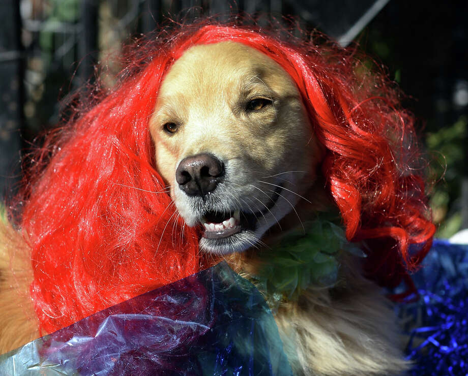 A dog dressed in a red wig participates in the 23rd Annual Tompkins Square Halloween Dog Parade on October 26, 2013 in New York City. Thousands of spectators gather in Tompkins Square Park to watch hundreds of masquerading dogs in the country's largest Halloween Dog Parade. Photo: TIMOTHY CLARY, AFP/Getty Images / 2013 AFP