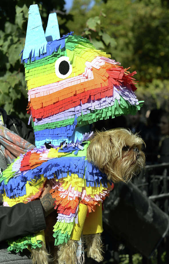 A dog dressed as a piñata participates in the 23rd Annual Tompkins Square Halloween Dog Parade on October 26, 2013 in New York City. Thousands of spectators gather in Tompkins Square Park to watch hundreds of masquerading dogs in the country's largest Halloween Dog Parade. Photo: TIMOTHY CLARY, AFP/Getty Images / 2013 AFP