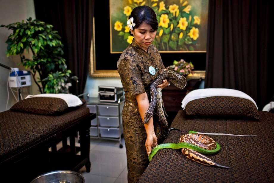 A member of staff prepares pythons used in massage treatments at Bali Heritage Reflexology and Spa on October 27, 2013 in Jakarta, Indonesia. The snake spa offers a unique massage treatment which involves having several pythons placed on the customers body. The movement of the snakes and the adrenaline triggered by fear is said to have a positive impact on the customers metabolism. Photo: Getty Images