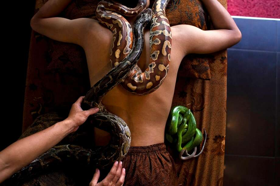 A members of staff demonstrates a form of massage using pythons at Bali Heritage Reflexology and Spa on October 27, 2013 in Jakarta, Indonesia. The snake spa offers a unique massage treatment which involves having several pythons placed on the customers body. The movement of the snakes and the adrenaline triggered by fear is said to have a positive impact on the customers metabolism. Photo: Getty Images